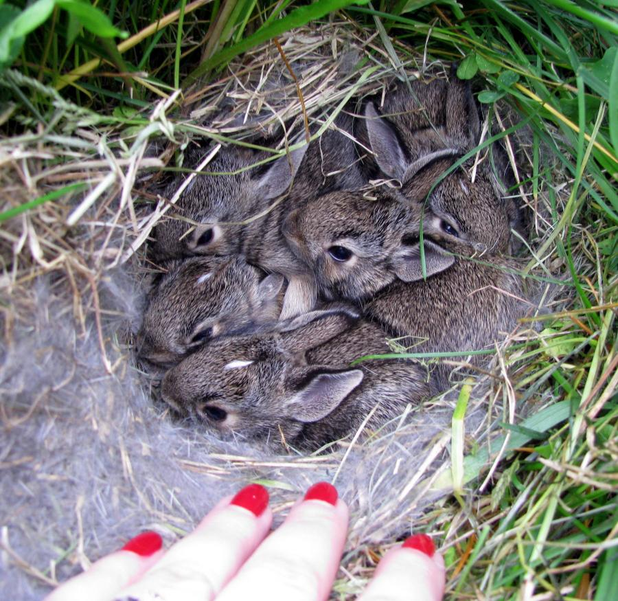 Cottontails make their nests in burrows, a depression in a garden