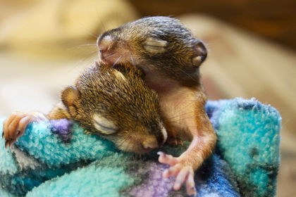 Experts say that while animals that hibernate, like these chipmunks, will simply wait for warmer weather; migratory birds are returning to Ottawa too early due to increased daylight.