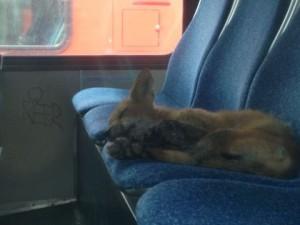Bus Fox