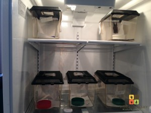 Bats in the care of the Rideau Valley Wildlife Sanctuary—continuing hibernation in the fridge.