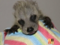 2012-05-07 Tyson 2-week old raccoon - resized logo