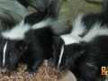 2012-08-13 baby skunks 600x327 logo