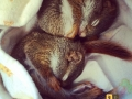 2014-05-12 red squirrels snuggling FB size