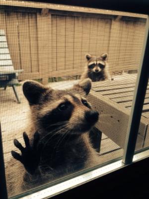 2014-06-03 raccoon conflict 01 300px