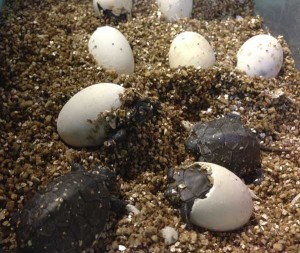 2013-09-02_Morgans_Blandings_hatchings_-_resize