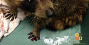 Not only is it illegal, relocated animals often do not survive and orphaned babies are left behind to starve. This raccoon also suffered injuries because of a trap and required our care.