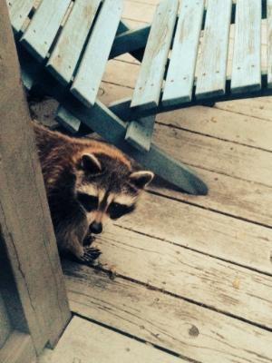 2014-06-03 raccoon conflict 03 300px