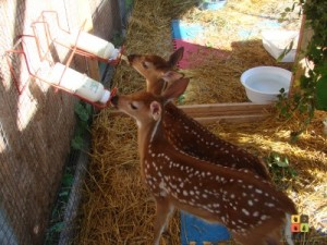 Fawns bottle feeding